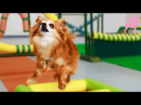 cute chihuahua tricks and agility