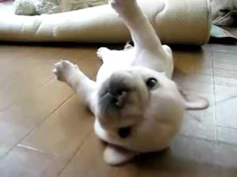 超可愛的法國鬥牛犬,翻不過身主人也幫幫他嘛!