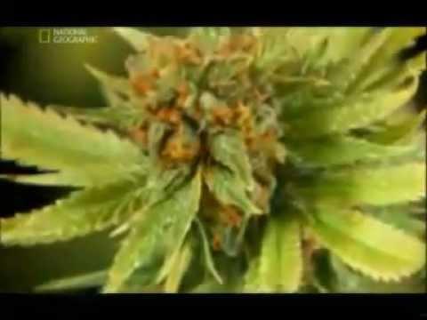 marihuana -