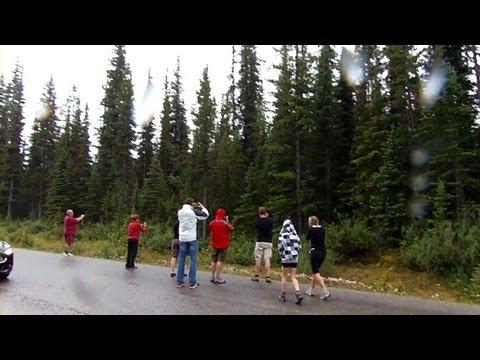 Tourists dangerously close to a big black bear in Jasper, Canada
