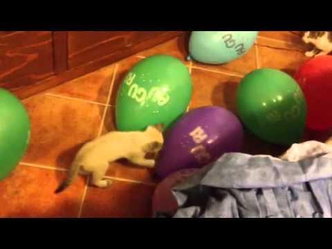gatti che giocano con palloncini, la reazione è sempre la stessa!