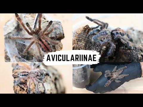 Avicularia, Caribena, Ybyrapora, Iridopelma - karmienie + zmiany taksonomiczne | arent.pl