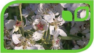 Die Blüte der Birne Schweizerhose