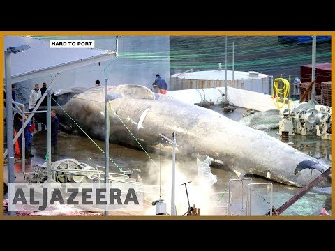 🇮🇸 Calls in Iceland to ban commercial hunting of whales | Al Jazeera English