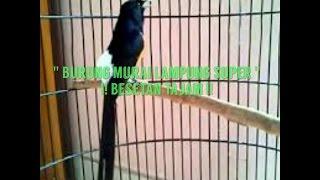 Burung Murai Lampung Super Besetan Tajam