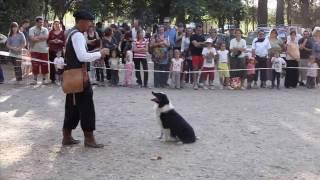 Border Collie vs grupo de patos