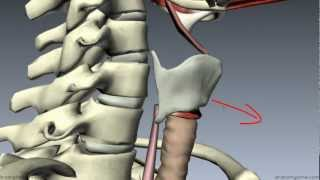 Muscles Of The Larynx - Part 1 - 3D Anatomy Tutorial