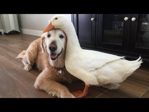 Koira on ankan paras kaveri!