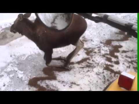 Une sableuse aide un orignal sur une chaussée glacée