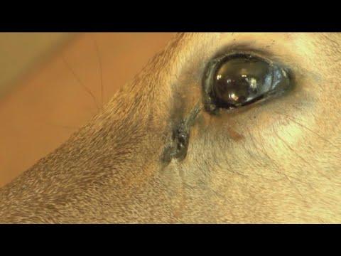 Zombie Deer Disease? (No, it's just CWD)