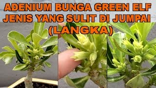Adenium Bunga Green Elf, Jenis Yang Sulit Di Jumpai (LANGKA) Video