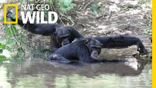 Just Like Us, These Chimps Splash in the River to Stay Cool | Nat Geo Wild by Nat Geo WILD