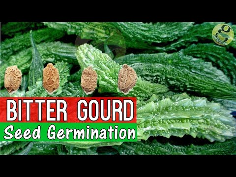How to Grow Bitter Gourd from Seed Germination | Garden Tips in English | Bitter Melon