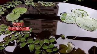 2017 1012                                 Duckweed Breeding