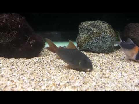 コリドラス コンコロールが鰓から砂出してるだけの動画