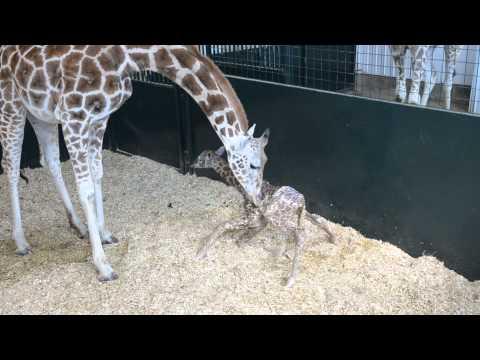 Giraffunge på benen för första gången