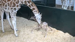 Precious Moment Of Baby Giraffe First Time Standing