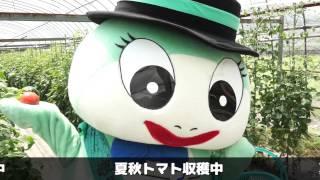 東白川特産 夏秋トマト狩り一本勝負!!編