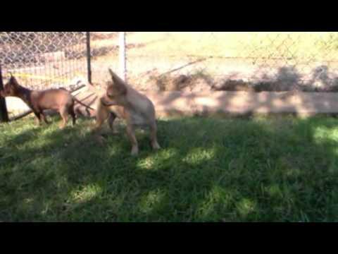 Fawn Chihuahua boy – Garrett