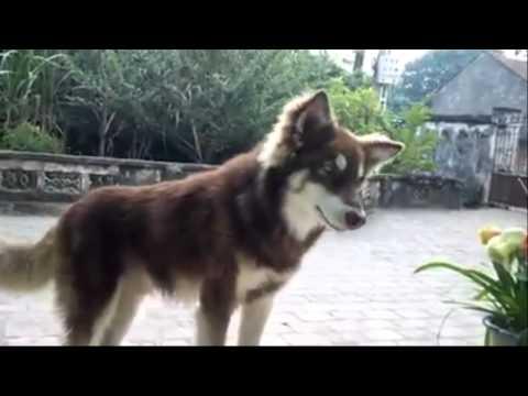 Câu trộm chó câu nhầm chó sói Alaska Malamute