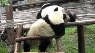 Playful pandas at the Panda Research Center, ChengDu 成都