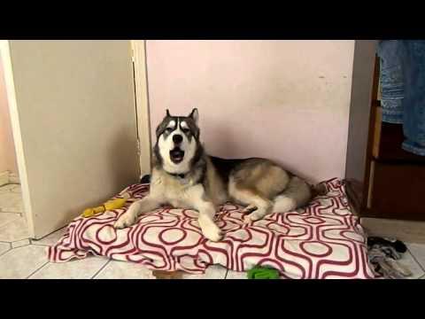 YouTube: este perro aúlla cuando escucha el tema 'I feel good'