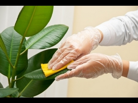 How to grow rubber plant care and tips   top 10 indoor plant