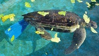 Chú rùa tàn tật có cuộc sống mới nhờ vây nhân tạo