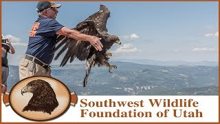 Golden Eagle Rescue and Release | Golden Gratitude to Firefighters!