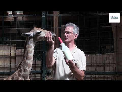 Magdeburg: Giraffe wird im Zoo per Hand aufgezogen