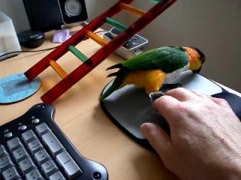 Pip The Killer Parrot