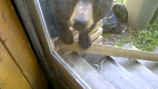 Quesnel (BC) Canada  City new picture : Vicious Bear Attack In Quesnel, B.C.