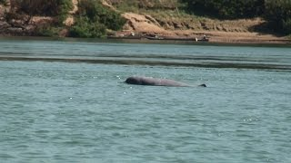 Kratie Cambodia  City new picture : Freshwater Irrawaddy Mekong Dolphin Watching - Kratie, Cambodia