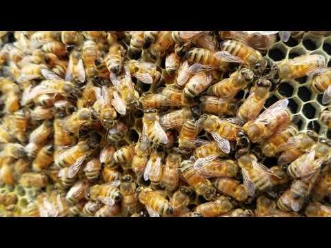 Secret to raising calm non aggressive honey bees