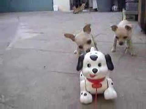 Chihuahua Family VS Toy Dog