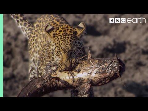 סרטוני טבע של ה-BBC: ברדלס עם דג בפה