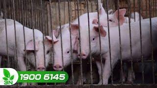 Lợn con bị bệnh xoắn khuẩn chữa như thế nào?