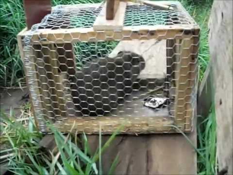 Pegando Preá na Armadilha - (trap guinea pig)