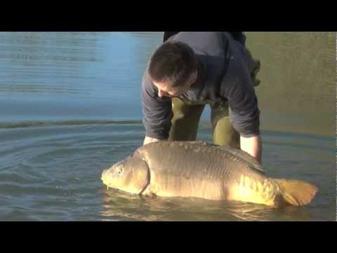 49lb mirror carp stocked, Jan 2012