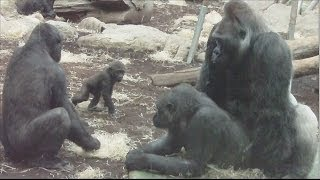 Download Video GORILLA TANGO - Mating Gorilla Rututu and Sonja - Baby Gorilla Nafi and Sadiki MP3 3GP MP4
