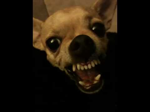 World's Most Vicious Chihuahua