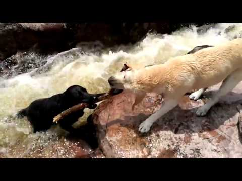 Amazing Dog Rescues Another Dog From River