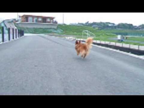 Real sprinter Chihuahua mix Papillon