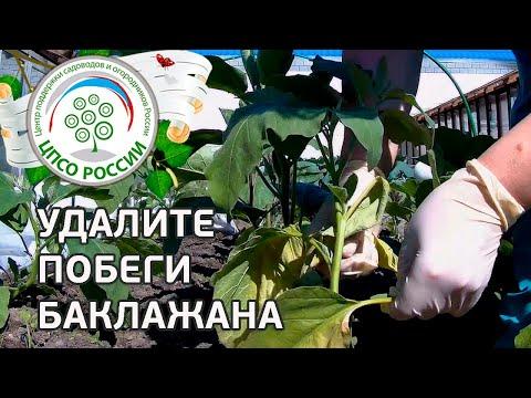 Формирование баклажанов. Выращиваем баклажаны.