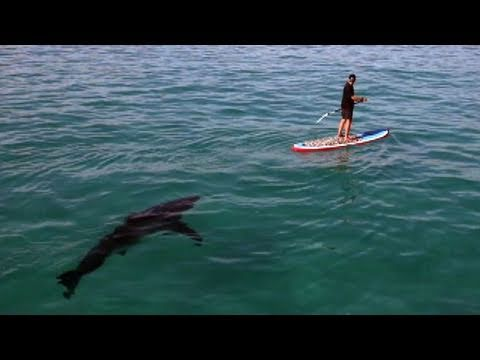 Great White Invasion – Paddling With a Shark