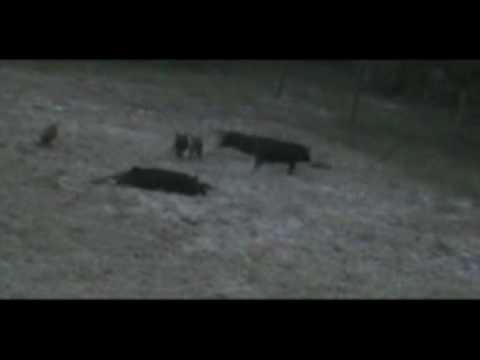 .17 HMR Hog Double Kill
