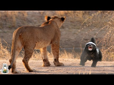 Why honey badger are so fearless?