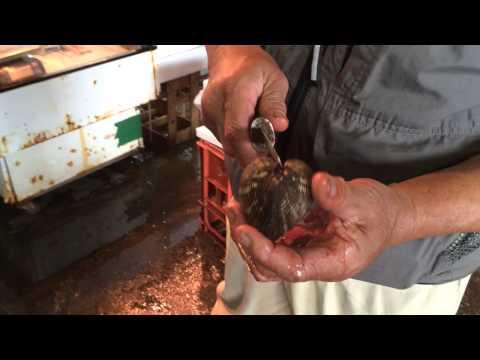อีกหนึ่งวิธีในการแกะหอยใหญ่