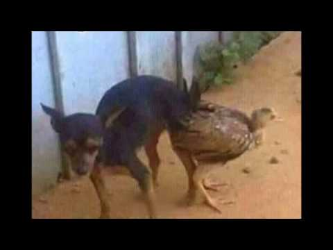 Video PERRO ATAJADO CON GALLINA(aberraciones animales) download in MP3, 3GP, MP4, WEBM, AVI, FLV January 2017