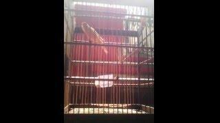 Kenari Isian Lovebird + Cucak Jenggot
